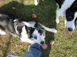 Rock N Roll Border Collies » About Us